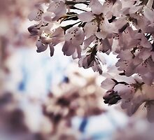 Pretty pink cherry blossoms by DerekEntwistle