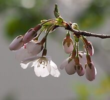 Cherry blossom up close by DerekEntwistle