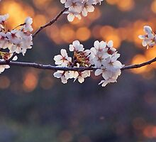 Cherry blossom at sunset by DerekEntwistle