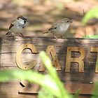 House Sparrows (Passer domesticus) by Maree  Clarkson