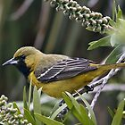 Orchard Oriole, Female by SuddenJim