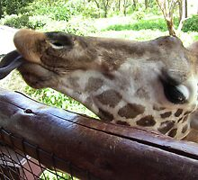 Giraffe - Feeding Time by vickyeyre