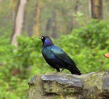 Lesser Blue Starling by vickyeyre
