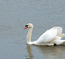 Mute Swan by Sue Robinson
