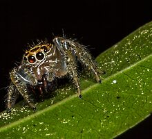 Jumping Spider 1 by Symbiosis - Justin Brosey