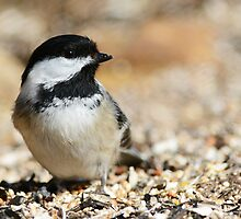 Chickadee portrait by dwornham
