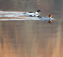Merganser Morning by Bill Wakeley
