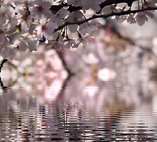Cherry blossom delight by DerekEntwistle