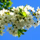 Cherry Orchard Blossoms by ©The Creative  Minds
