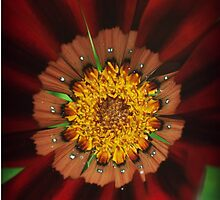 red daisy flower by laikaincosmos