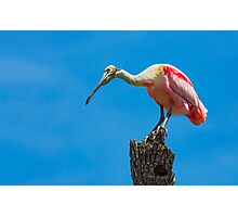 Roseate Spoonbill on Tree Trunk Photographic Print