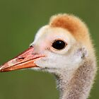 Profile of a baby Sandhill! by jozi1
