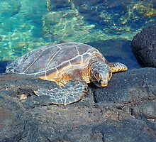 Vibrant Hawaii turtle in crystal clear water by artisticattitud