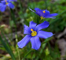 BLUE EYED GRASS by Sandra  Aguirre