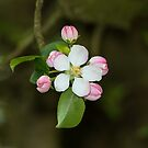 Apple Blossom by Sue Robinson