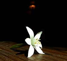 STAR OF BETHLEHEM (HIGH CONTRAST) by Sandra  Aguirre