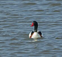 Shelduck Male by Sue Robinson