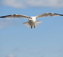 Seagull in Flight by krishoupt