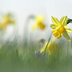 Daffodils in the field by Bob Daalder