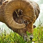 Bighorn Sheep by Nordic-Photo