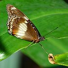 Leaf Hopping Oleander Butterfly by Margaret Saheed