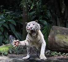 White tiger Put leg out to grab meat by Bunddy10