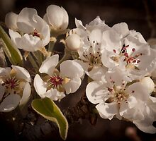 Apple Blossoms, Cascade Valley, Washington by Harv Churchill