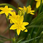 Wildflowers - Yellow Star Grass by Lee Hiller