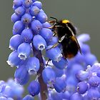 Bee On Grape Hyacinth....... by lynn carter
