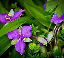 Wildflowers - Spiderwort by Lee Hiller