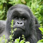 RWANDAN SILVERBACK 1 by David Lumley