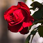 red rose after spring rain by jhawa