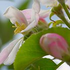 Apple Blossom by wraysburyade