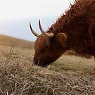 highland cow, isle of lewis by christopher lonie