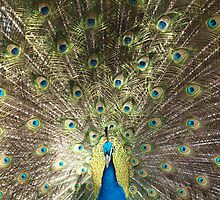 Peacock Splendour by kalaryder