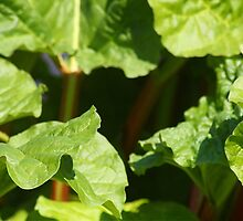 Rhubarb leaves in my garden by CreativeDreamin
