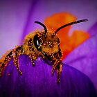 Bee on Spring Crocus #7  by Kane Slater