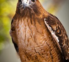 Red Tail Hawk has got it's eyes on you by damhotpepper