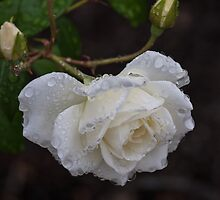 White Rose With Raindrops by Pauline Tims