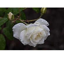 White Rose With Raindrops Photographic Print