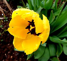 Yellow Tulip. by Livvy Young