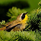 YELLOW THROAT  WARBLER by RoseMarie747
