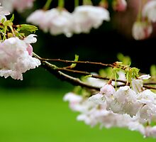 Cherry blossom by picoftheday