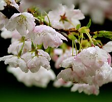Rainy blossom by picoftheday
