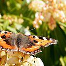 1st Butterfly in my garden 2014 by ElsT