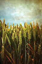 Corn by AllyNCoxon