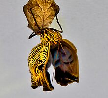 Giant Butterfly Birth In Mindo Ecuador by Al Bourassa