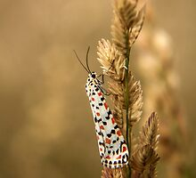 Crimson Speckled Footman or Flunkey (Utetheisa Pulchella)  by Qnita