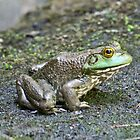 American Bullfrog by Lee Hiller