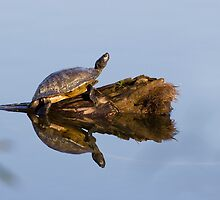 Yellow-bellied Slider (Trachemys scripta) by Liam Wolff